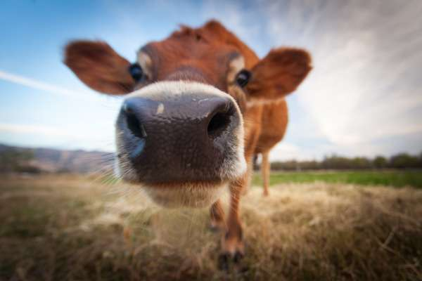 Cow urine for glowing skin
