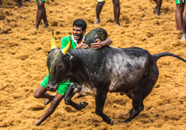 File pic - A man tries to control a bull during Jallikattu