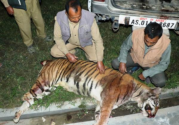 Forest officials examining the carcass of tiger killed by