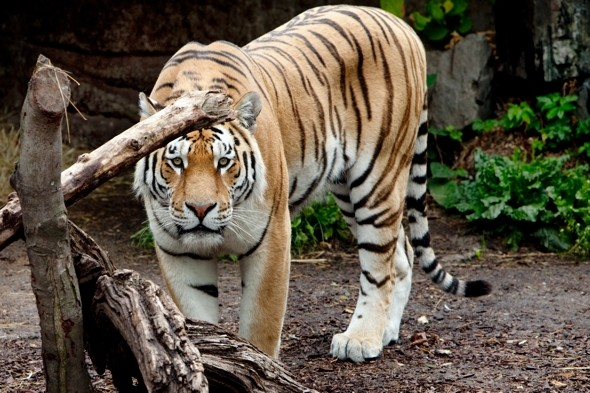 Tiger breaks free in MP zoo