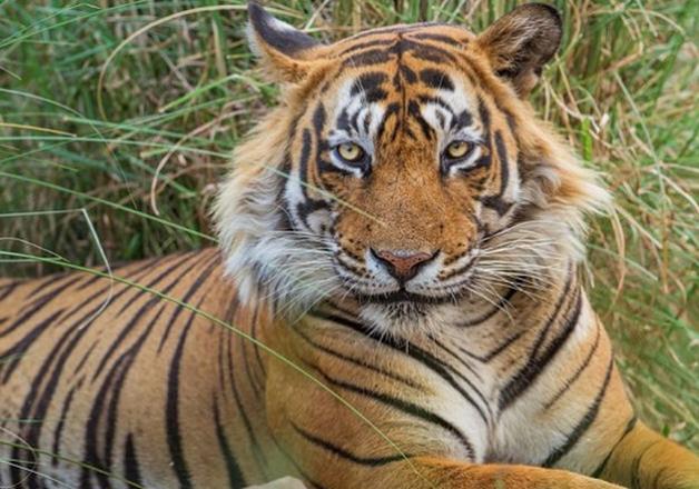 Tiger population booms in Uttarakhand's Terai region