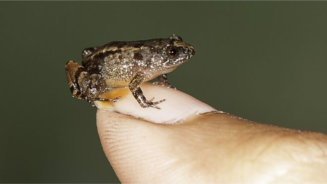 India Tv - Meet the Miniature Frog that can fit on your Thumbnail
