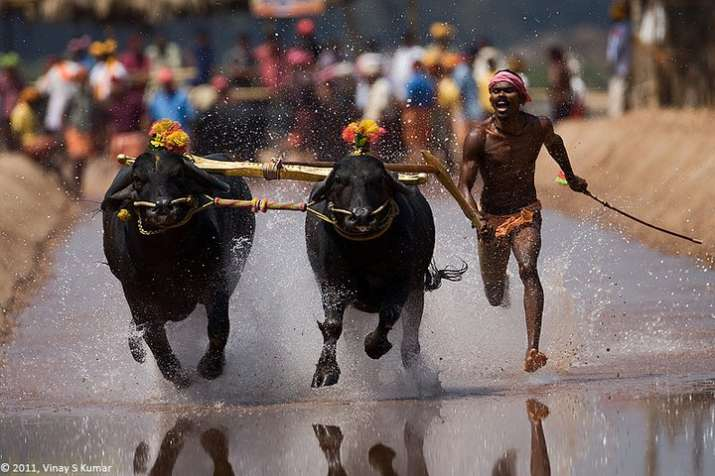 Protests seeking an end to the ban on Kambala grew after TN