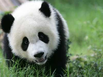 Do you know why Pandas are black and white