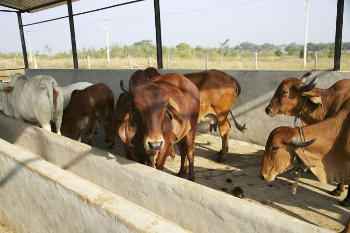 Rajasthan imposes 10 pc cow cess on stamp duty for cow