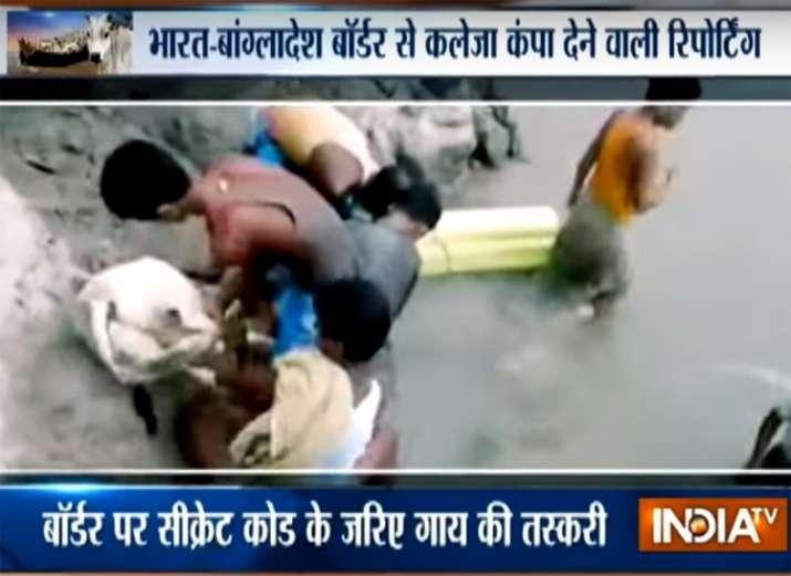 Cow smuggling on India-Bangladesh riverine border