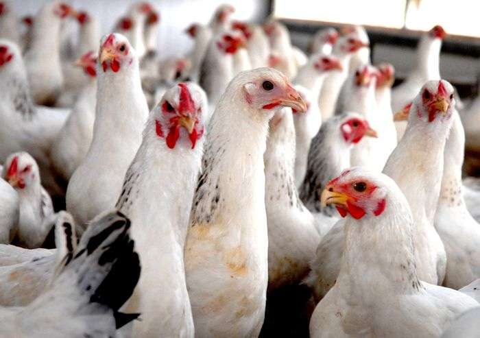 COVID-19 scare hits poultry industry, birds culled in Karnataka