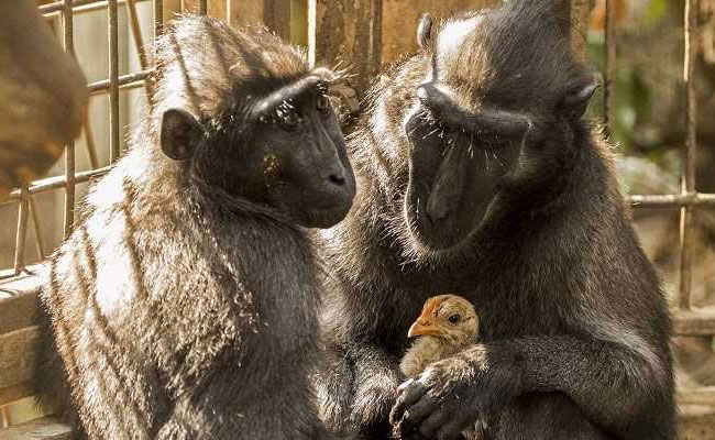 India Tv - Monkey at Israeli zoo adopts this chicken