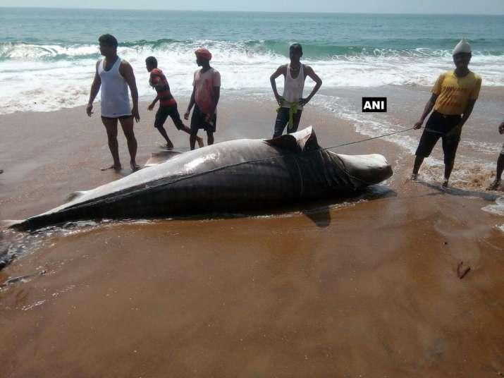 A 14-feet long whale shark carcass washed ashore Puri beach