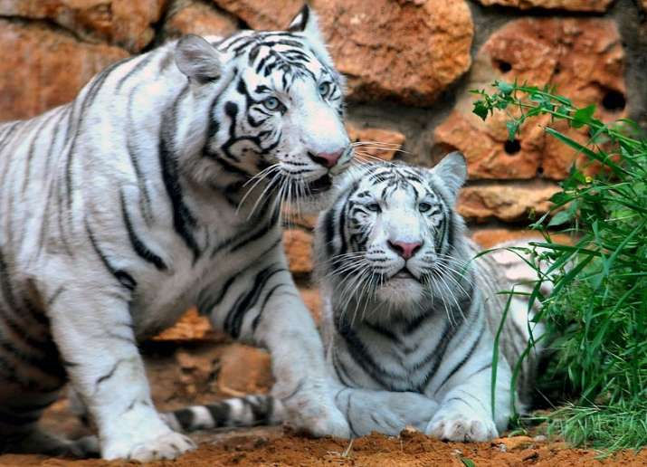 Two white tiger cubs kill caretaker at Bengaluru's