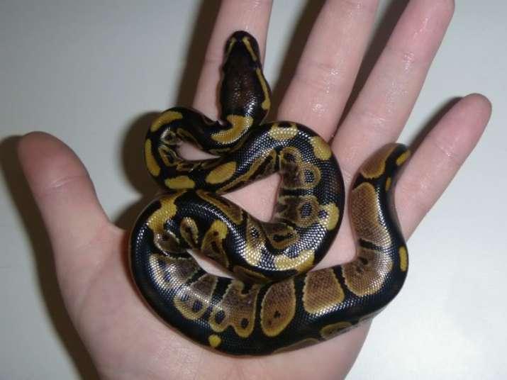 Baby python (representative image)