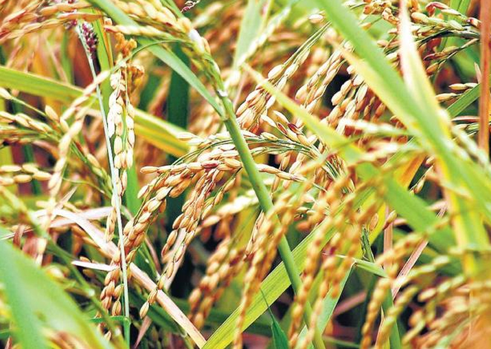 Bihar fixes no target for paddy procurement; to buy all