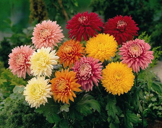 India Tv - Chrysanthemum