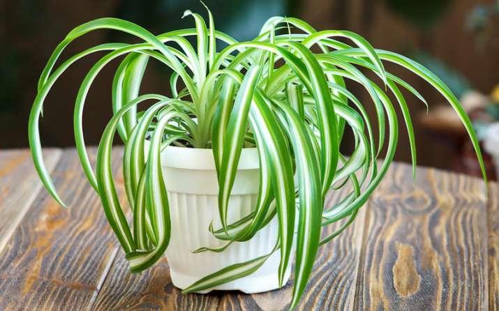 India Tv - Spider Plants