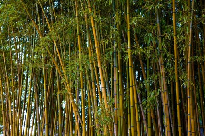 Bamboo not a tree: Parliament passes bill amending Forest