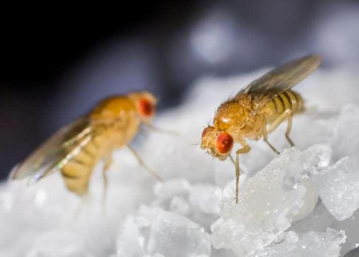 Fruit flies sing powerful love songs to win female