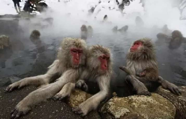 Researchers have observed female Japanese macaques having