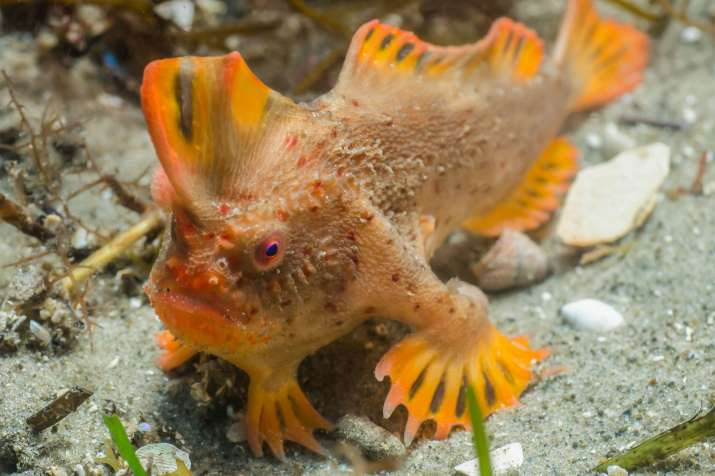 Red handfish was first spotted in 19th century near Port