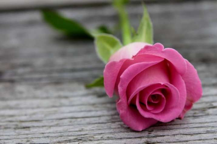 India Tv - Happy Rose Day 2018: Significance of Pink Rose