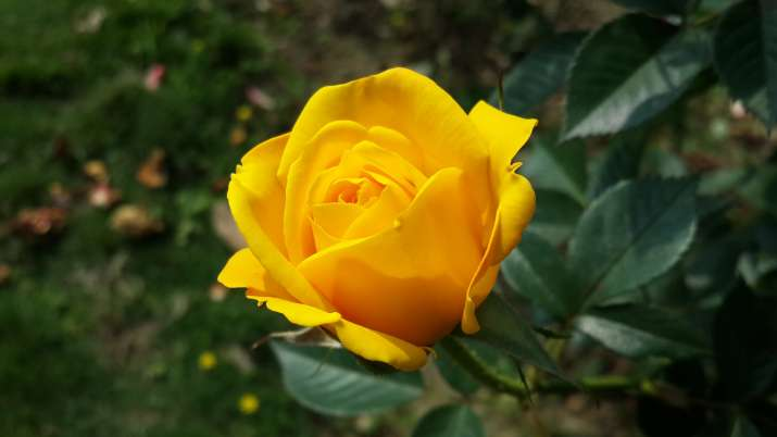 India Tv - Happy Rose Day 2018 Yellow Rose