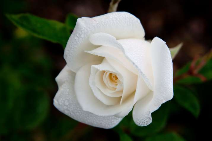 India Tv - Happy Rose Day 2018: Meaning and Significance of White Rose
