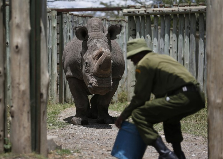 India Tv - In this photo taken Wednesday, May 3, 2017, a ranger takes care of Sudan, the world's last male northern white rhino, at the Ol Pejeta Conservancy in Laikipia county in Kenya.