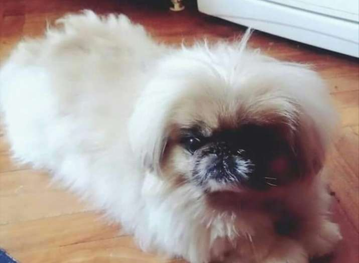 India Tv - These 5 laziest dog breeds can even beat the do-nothing Panda