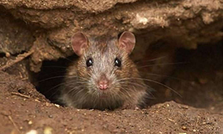 27-year-old comatose patient, allegedly nibbled by rat,