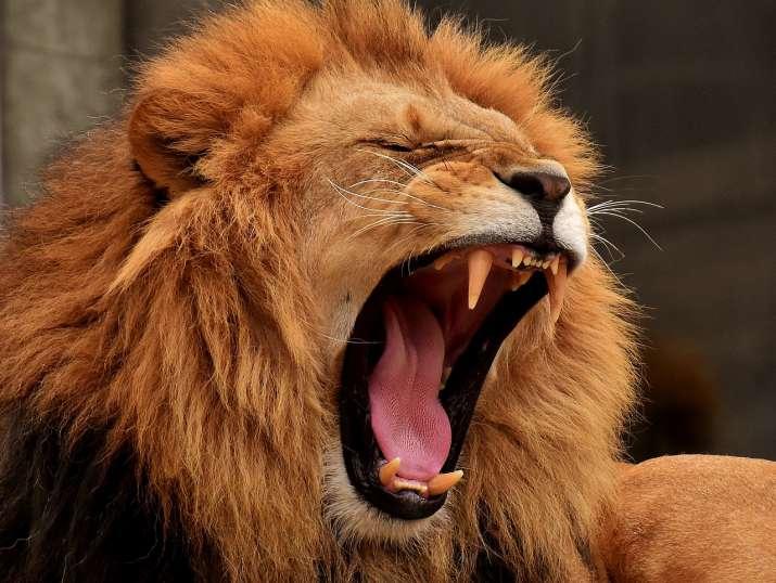 Caught On Camera: Lion attacks 67-year-old wildlife park ...