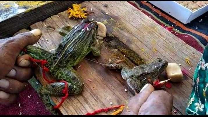 Frog marriage held in Madhya Pradesh for rain