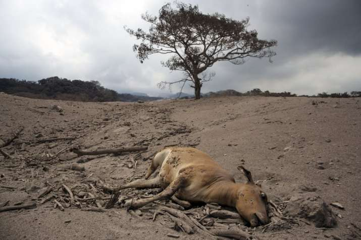 "India Tv - A dead cow lays in the disaster zone near the Volcan de Fuego, or ""Volcano of Fire,"" in Escuintla."