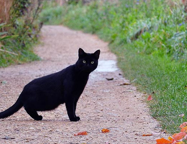 Image result for black cat in india superstition