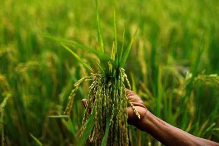 Kharif foodgrains production estimated at record 141.59