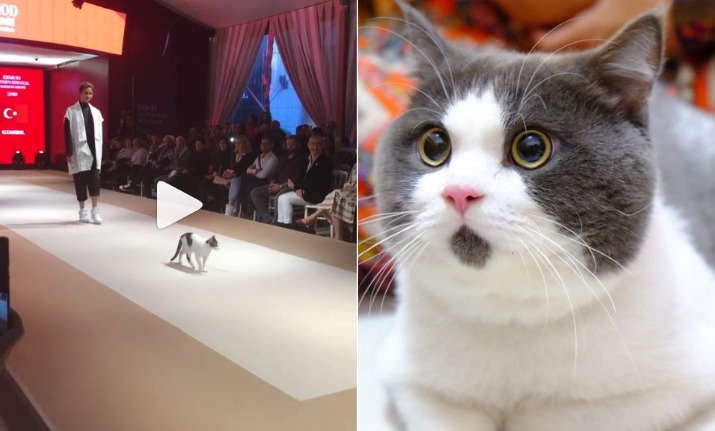 a5613c478e Viral Video  This cat s CAT-WALK is the real show steal at fashion ...