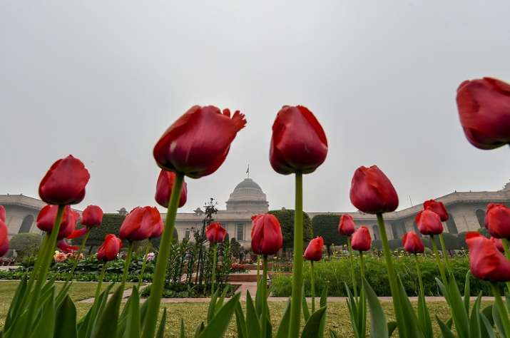Fully bloomed tulips at the Mughal Gardens of Rashtrapati