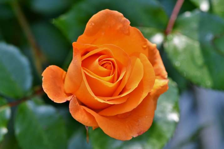 India Tv - Orange Rose