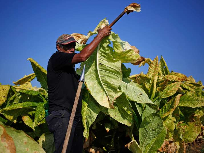 Tobacco plant can help in treating type-2 diabetes, arthritis and stroke; Know more