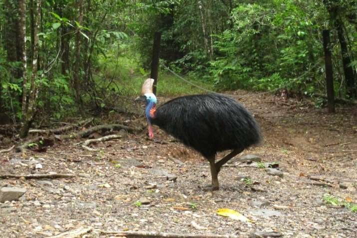 Large, flightless bird attacks and kills its fallen owner
