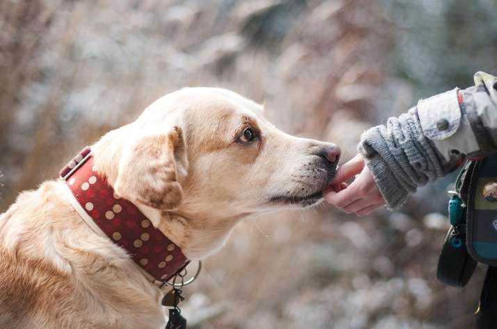 Dogs can sniff out cancer in blood with 97% accuracy: Study