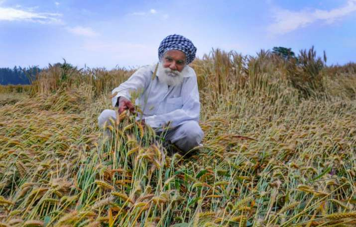 India Tv - Thunderstorm Alert Latest News: A farmer inspects his wheat crop damaged by strong winds and rains,