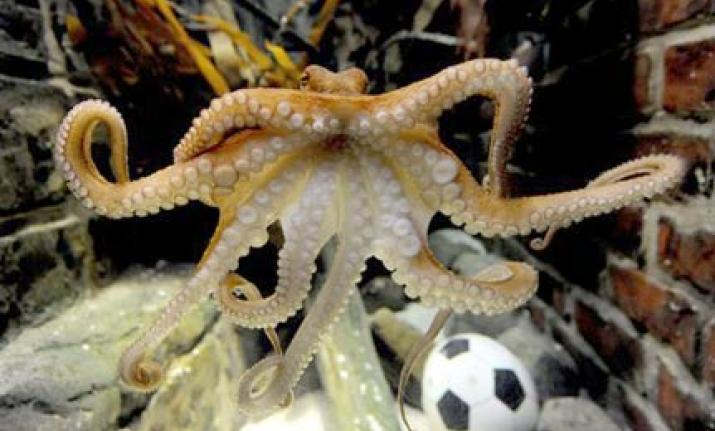 Octopuses are not a part of a regular diet anywhere in the