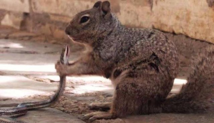 Squirrel kills snakes and eats it down, photos going viral