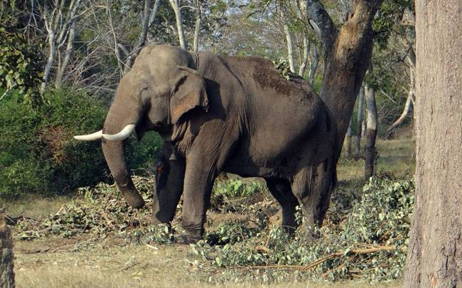 Girl killed, parents injured in elephant attack