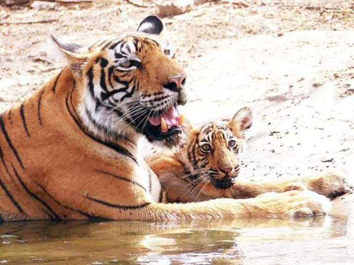Time to rejoice, time to protect: Tigress gives birth to three cubs in Ranthambore National Park