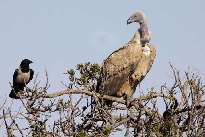 A vulture is a scavenging bird of prey. The two types of