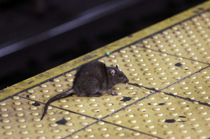Rat onboard delays Air India flight in Delhi
