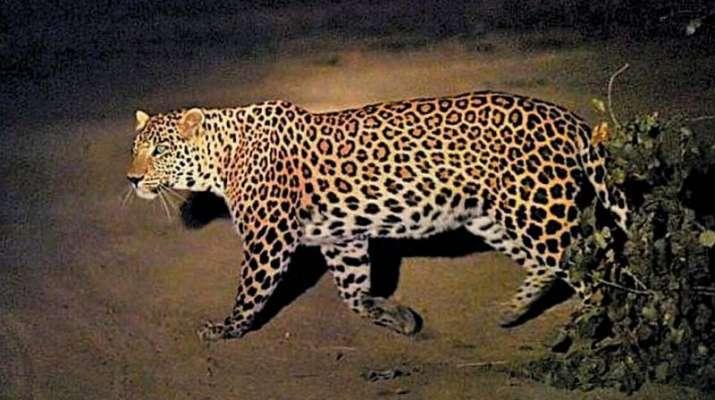 Week on, leopardess that killed minor boy captured