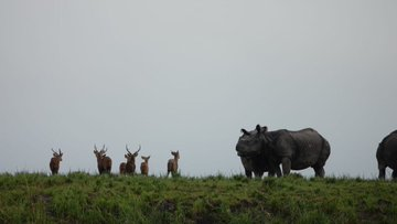 Video of deer trying to save themselves from drowning in Kaziranga tells you the story of Assam floo