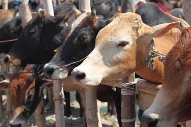 Cows in Jammu get geo-tagged as civic body looks to tackle