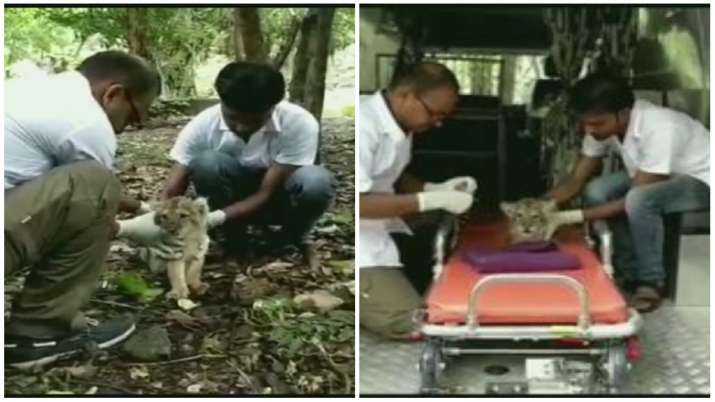 An ailing lion cub rescued from Gir forest, Gujarat